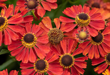 Beautiful Colorfjul Image Of Common Sneezeweed Helenium Autumnale Flower In English Country Garden Landscape Setting