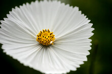 Stunning Close Up Macro Image Of Mexican Aster Cosmos Bipinnatus White Flower In English Country Garden Landscape With Selective Focus
