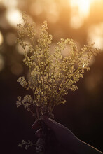 Vertical Shot Of A Hand Holding Cow Parsley Outdoors During A Sunset