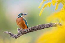 Adorable Common Kingfisher, Alcedo Atthis, Sitting On A Twig In The Autumn Morning. Colorful Natural Scenery With A Orange Bird And Yellow Plants. Animal Wildlife With Copy Space.