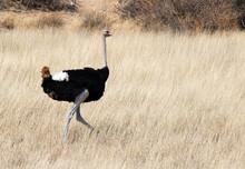 A Black Ostrich Bird Walks Through Yellow Grasslands