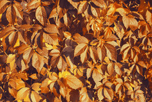 Fall Banner. Beautiful Autumn Yellow And Golden Red Foliage In Golden Sun. Falling Leaves Natural Background Landscape. Copy Space, Selective Focus. Full Frame Wine Leaves