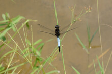 Large Dragonfly On A Grass Blade