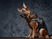 Police German Shepherd Dressed In Police Uniform