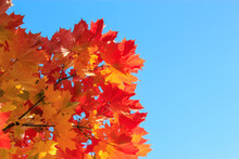 Maple Leaves In Autumn Against The Sky