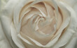 canvas print picture - Rose Weiss
