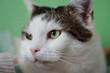 portret kota rasy europejskiej