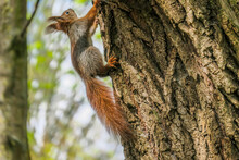 Little Red Squirrel On A Tree In The Park