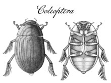Ink Beetle Illustration In Dorsal And Ventral Views (Coleoptera Order)