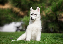 Beautiful Siberian Husky Puppy In The Park