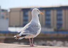 Seagull - St Brelade - Jersey
