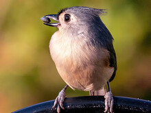Closeup Shot Of A Tufted Titmouse Bird With A Small Stone In The Beak Against A Green Background