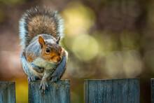 Squirrel On A Patio Fence, Squirrel With Walnut Sitting On A Patio Fence