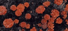 Background Of Calendula Flowers, Marigolds. Floral Background. Red Carpet Texture