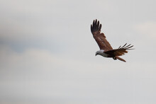 Brahminy Kite Eagle Flying Above Looking For Prey