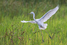 Nature Wildlife Image Of Cattle Egret Flying On Paddy Field