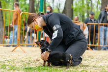 Female Handler Wearing Protective Medical Mask On Her Face, Puts Obedient Dachshund Puppy In The Correct Stance At A Dog Show During Epidemic.