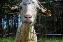 A White Hair Domestic Goat With Large Ears And A Long Snout Peering Through A Wooden Fence In A Farmer's Field.  The Animal Has A Little Red Hair Near Its Long Ears. Its Eyes Are Small.