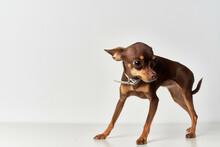 Chihuahua Mammals Friend Of Human Close-up