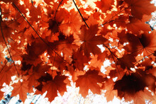 Orange Fall Falling Leaves Autumn Background Yellow Branches Maple