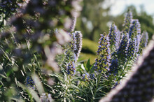 Beautiful Meadow With Blooming Echium Flowers