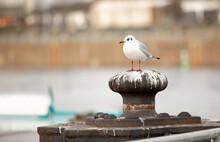 Vogel Möwe Der Weißen Farbe Schauend In Die Seite Sitzend Auf Der Anlegestelle