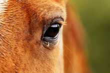 Eye Of Crying Horse With A Tear