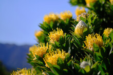 Multiple Yellow Pincushion Flowers In Bloom On A Tree In The Cape Mountains In South Africa. Species: Leucospermum Conocarpodendron