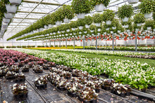 Large Industrial Greenhouse. Flowers In Pots All Around.
