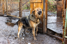 A Large Guard Dog On A Chain In The Yard Barks In The Rain