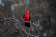 Australian King Parrot Perched In Tree