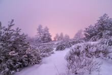 Snowy Evergreen Trees Under Sunset Sky