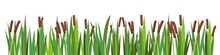 Reed And Cattail. Isolated Element Of Summer Swampy Wild Landscape. Horizontally Composition. Overgrown Bank Of A Pond Or River. Illustration Vector