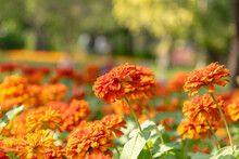 Zinnia Flowers In The Garden Is A Popular Flower Grown In The House And The Place.