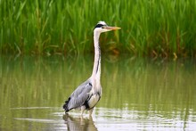 Close-up Of Gray Heron In Water