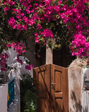 Pink Crepe Myrtle Flowering Plants Growing Above The Wooden Fence Of A Resort Home In Santorini
