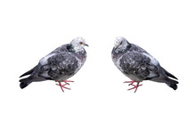 Two Pigeons Isolated On White Background