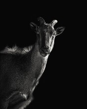 Art Is A Way How You Represent It A Himalayan Tahr Potrait The Fastest On The Hills Of Himalayas