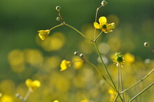 Close-up Of Yellow Flowering Plant. Springtime