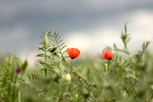 Close-up Of Red Poppies On Plant In Field