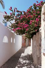Pink Crepe Myrtle Flowering Plants Blooming In An Alley In Santorini