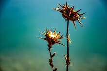 Selective Focus Shot Of A Dry Plumeless Thistles Plant Growing In Front Of The Lake