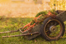 Wooden Cart On Wheels With Carrots. Harvesting, Autumn Concept. Vegetables, Garden Wheelbarrow.