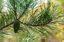 Young Green Pine Cone. Pine Tree. Pinus. Isolated Pine. Pine Branch With Cones Isolated On Light Natural Background. Coniferous Tree Branch In A Forest Or Park, Close-up