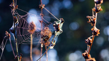 Cobwebs On Dry Plants, In Dew Drops In The Morning. Sunshine, Blurred Background, Dry Flowers, Web, Bokeh, Warm Sunlight, Soft Focus. Abstract Nature Baner. Autumn Background