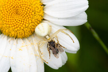 Close-up Of A Crab Spider With Prey