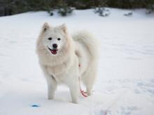 Samojed W Scenerii Zimowej, Biały Pies Na Białym Tle. Gruba Sierść Doskonale Chroni Tę Rasę Przed Mrozem.