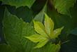 Dzikie wino , winobluszcz (Parthenocissus Planch.) - młody listek .