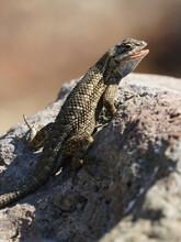 Brown Lizard Warming On Rock In The Sun
