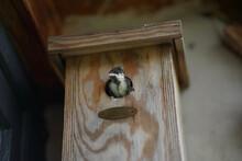Baby Black Tit Parus Major Leaving The Nest Box